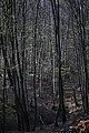 Lainzer Tiergarten März 2014 Buchen- und Birkenwald (Carpinus, Betula).jpg