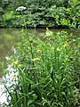 Lakeside vegetation, Newent Lake - geograph.org.uk - 833618.jpg
