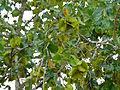 Large-fruited Bushwillow (Combretum zeyheri) (12908159033).jpg