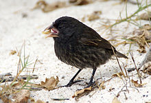 Large cactus ground finch Espanola.jpg