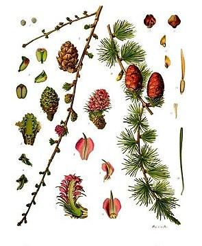 Europäische Lärche (Larix decidua), Illustration.