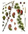 Larix decidua - Köhler–s Medizinal-Pflanzen-216.jpg