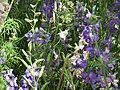 Larkspur from Lalbagh flower show Aug 2013 8059.JPG