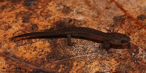 Larval Southern Dusky Salamander