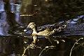 Lavanco femia en Castiñeiras.jpg