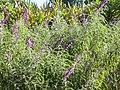 Lavender bush.jpg
