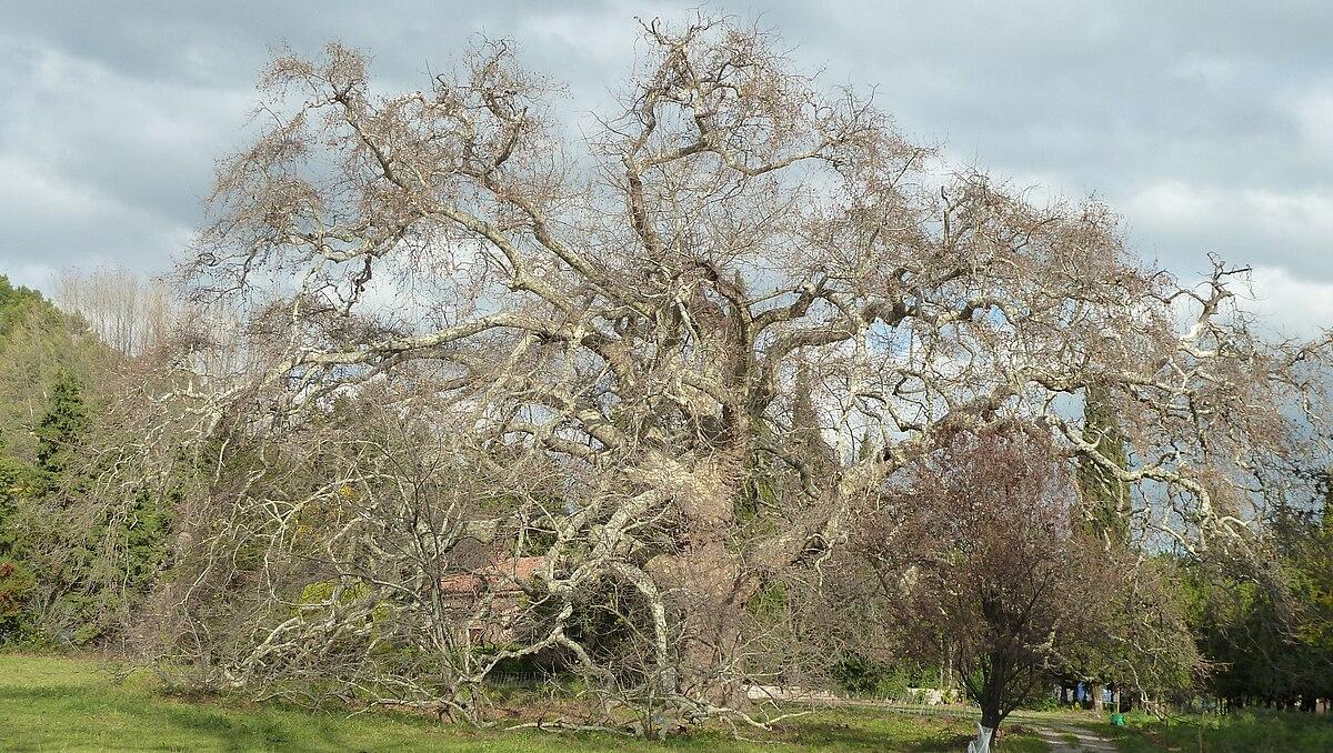 platane géant de lamanon — wikipédia