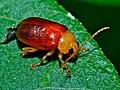 Leaf Beetle (Chrysomelidae) (6933098874).jpg