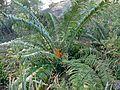 Lebombo Cycad (Encephalartos lebomboensis) (32271288232).jpg