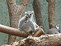 Lemur-Katta-1.jpg