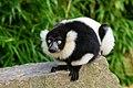 Lemur (26245081439).jpg
