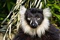 Lemur (26619198797).jpg