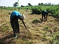 Lentraide au village les jeunes du village se retrouvent pour la moisson du fonio dune famille. (8578103422).jpg