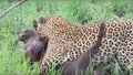 Leopard Killing Warthog Graphic Latest Wildlife Sightings Hd 4.png