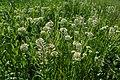 Lepidium campestre kz04.jpg