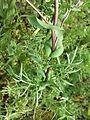 Lepidium perfoliatum sl17.jpg