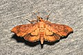 Lepidoptera (15863688408).jpg