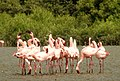 Lesser Flamingo Phoeniconaias minor Courtship Dance by Dr. Raju Kasambe DSCN0567 (4).jpg
