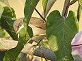 Lesser Whitethroat by Dr. Raju Kasambe DSCN3622 (1).jpg