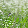 Lesser white throat (E) (9079425118).jpg