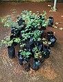 Libidibia coriaria plants.jpg