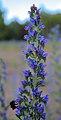 Lieberoser Heide Echium vulgare 02.JPG
