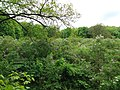 Lilac grove, Dykanskyi Landscape Park (10.05.19) 06.jpg