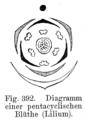 Lilium Blütendiagramm.png