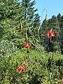 Lilium occidentale 5.jpg