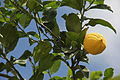 Limon(26).JPG