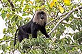 Lion Tailed Macaque (26247242714).jpg