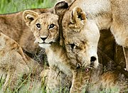 Head rubbing and licking are common social behaviors within a pride, this cub's mother gives it an affectionate nudge