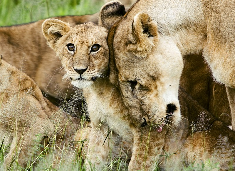 File:Lion cub with mother.jpg