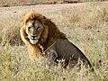 Lion in Serengeti protected area.jpg