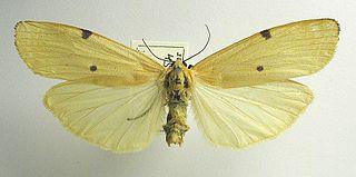 <i>Lithosia quadra</i> Species of moth