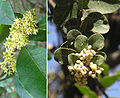 Lithraea caustica (8683909323).jpg
