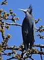 Little Blue Heron (crop experimentation) (32363250821).jpg