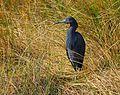 Little Blue Heron at Lake Woodruff - Flickr - Andrea Westmoreland (1).jpg