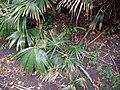 Livistona australis (R.Br.) C.Martius (AM AK299178-2).jpg