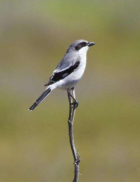 File:Loggerhead Shrike (Lanius ludovicianus).jpg