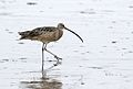 Long-billed curlew, Numenius americanus, Moss Landing (Elkhorn Slough and beach), California, USA. (30865534151).jpg