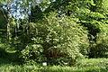 Lonicera xylosteum in Botanical garden, Minsk.JPG