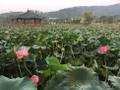 Lotus en fleurs sur l'étang Yeonhwamot.png