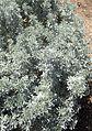 Lupinus albifrons kz1.jpg
