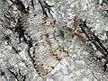 Lymantria dispar ♂ - Gypsy moth (male) - Непарный шелкопряд (самец) (26001806437).jpg