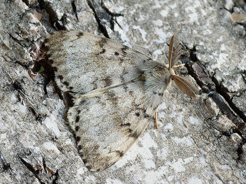 File:Lymantria dispar ♂ - Gypsy moth (male) - Непарный шелкопряд (самец) (26001806437).jpg