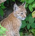 Lynx2-1911 (14819527767).jpg
