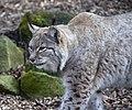 Lynx 2d (5512119447).jpg