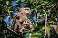 Macaca leonina, Northern pig-tailed macaque - Khao Yai National Park (34463390514).jpg