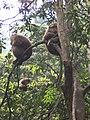 Macaca thibetana Emei Shan1.jpg